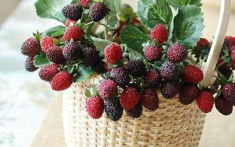 Harga European small wild berry strawberry beam mulberry fruit stringsimulation flower
