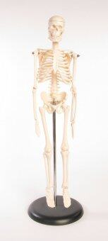 Harga 45CM Tall Educational Skeleton Model